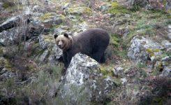 Bierzo Enoturismo ampliará su oferta turística con el avistamiento de osos en libertad